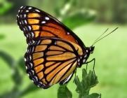 butterfly1